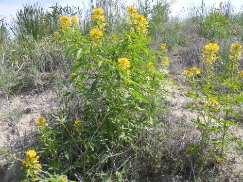 Yellow Beeplant