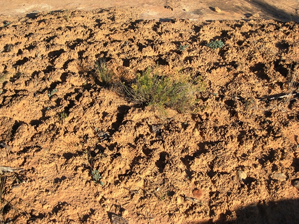 Cryptobiotic Soil in Moab